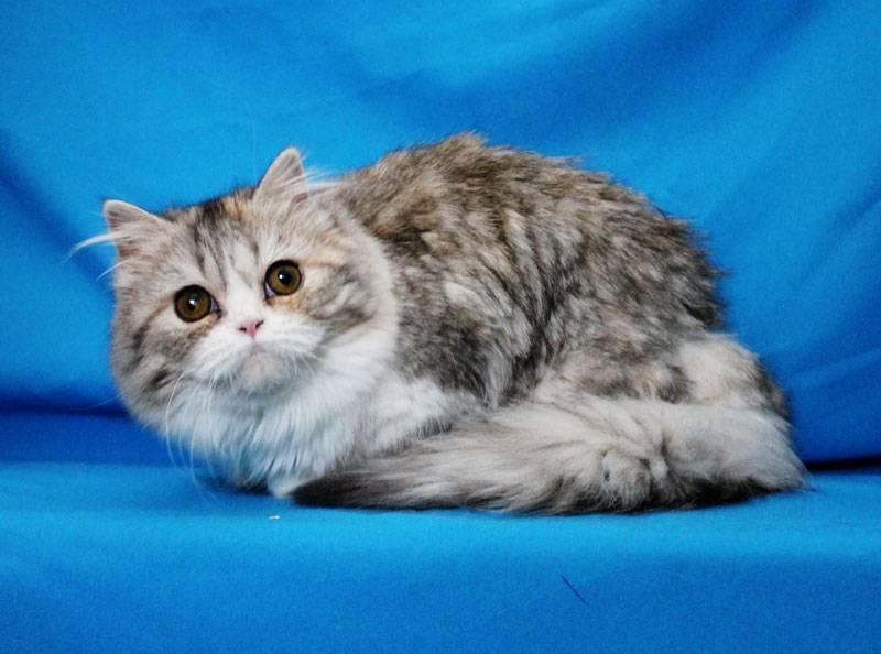 Скоттиш страйт шотландская короткошерстная прямоухая кошка