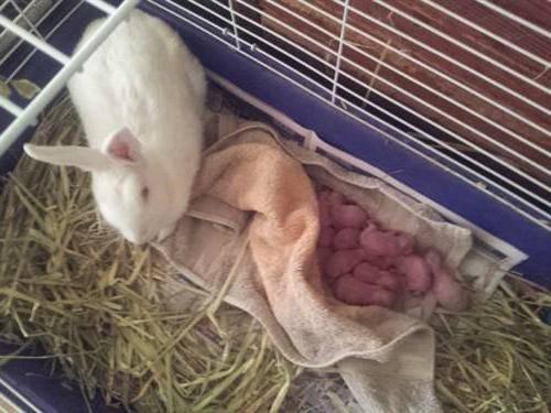 Сколько дней ходит беременная крольчиха, особенности содержания и питания вовремя вынашивания крольчат