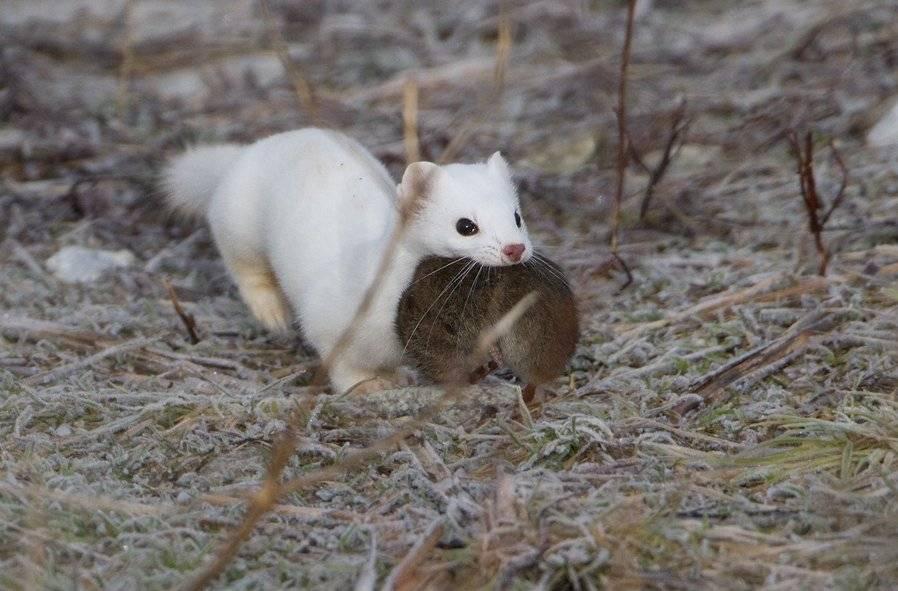 Животное ласка в природе: как выглядит зверёк, чем питается