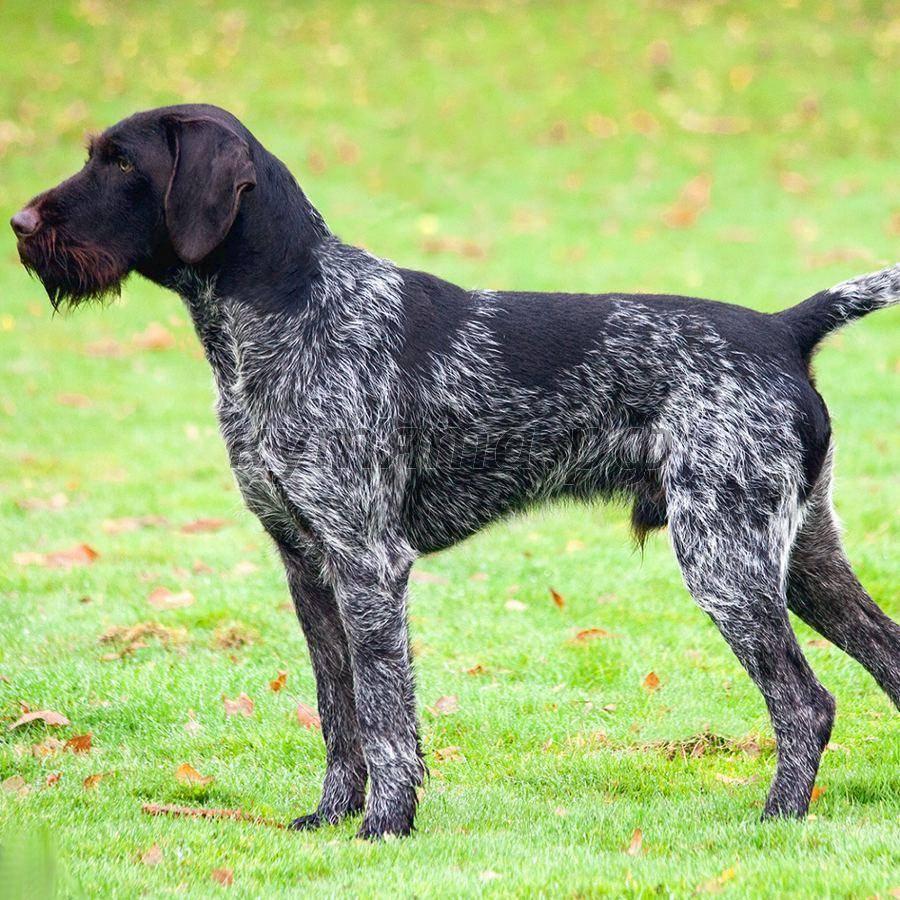 Легавые породы собак: список, названия, описание