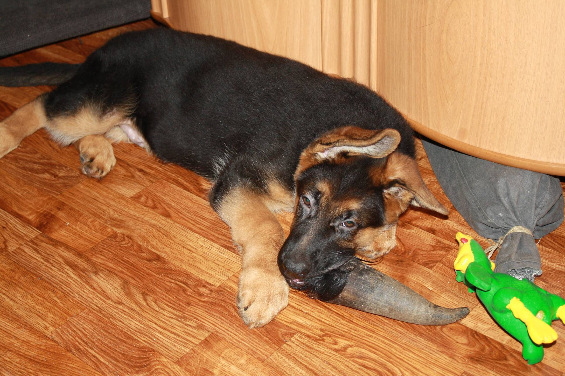 Чем кормить щенка и взрослую немецкую овчарку