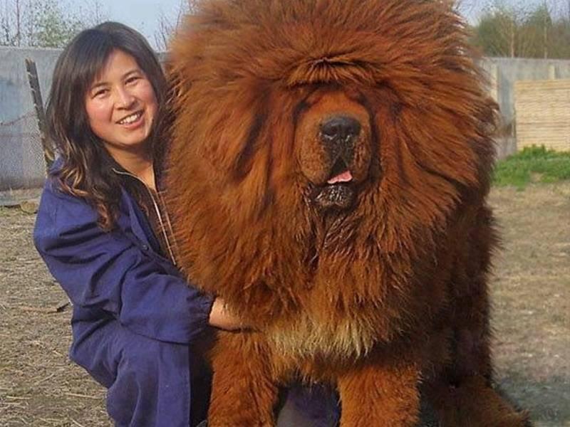 Тибетский мастиф — особенности породы и полезные качества лохматого здоровяка + 85 фото