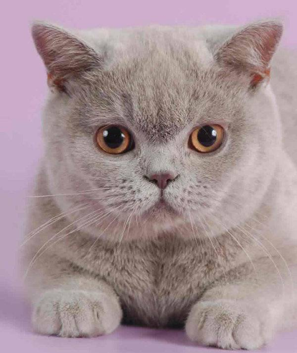Британская кошка: характер и повадки, особенности поведения и привычки