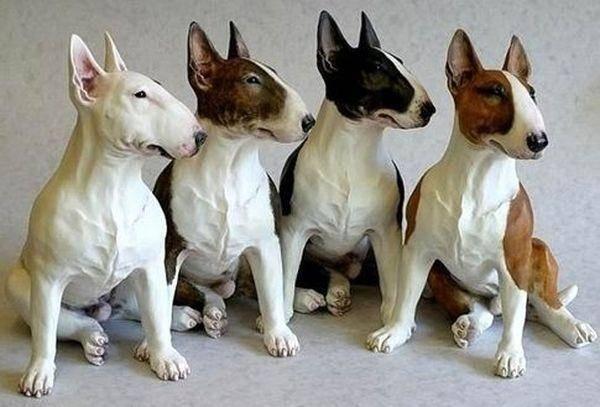 Бультерьер — боевые меланхолики среди собак ⋆ собакапедия