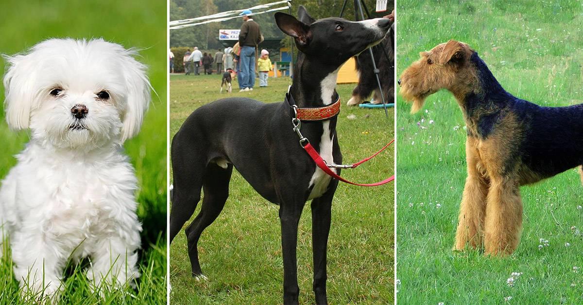 Гипоаллергенные собаки для аллергиков и астматиков: породы