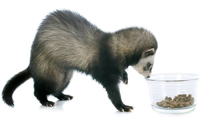 Чем кормить хорьков в домашних условиях: есть, питаться