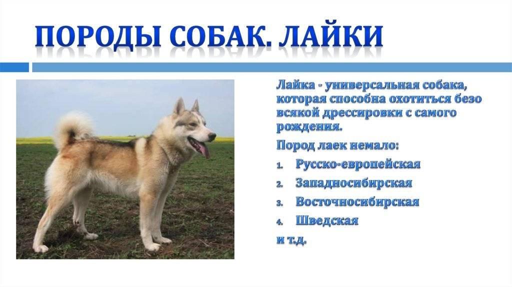 Клички для самоеда (самоедской лайки) мальчика и девочки - как назвать щенка? - mydognames