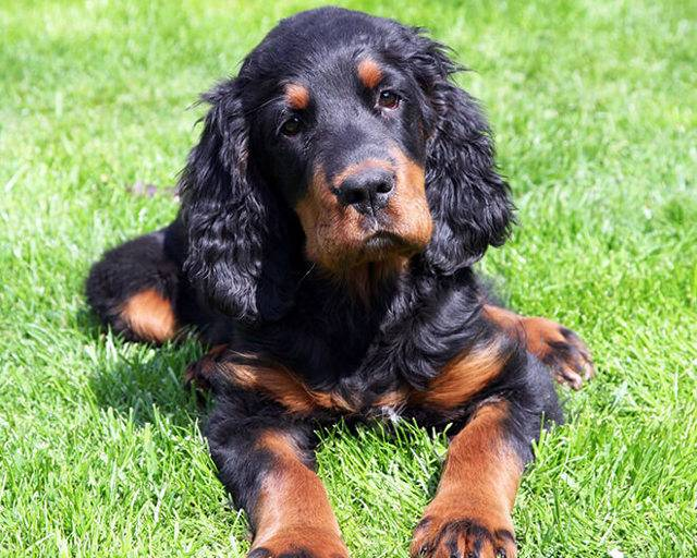 Собаки » породы » шотландский сеттер (гордон-сеттер)