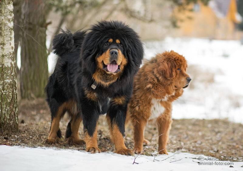 Тибетский мастиф: описание породы и стандарты, характер и нрав собаки