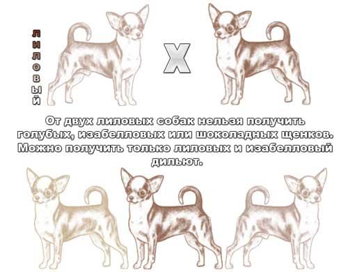 Разновидности чихуахуа, виды породы