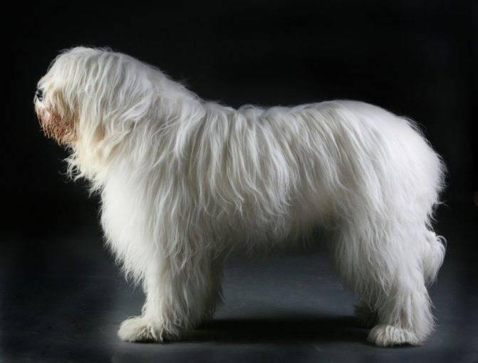 Порода собак южнорусская овчарка - описание, характер, характеристика, фото южнорусских овчарок и видео, цена