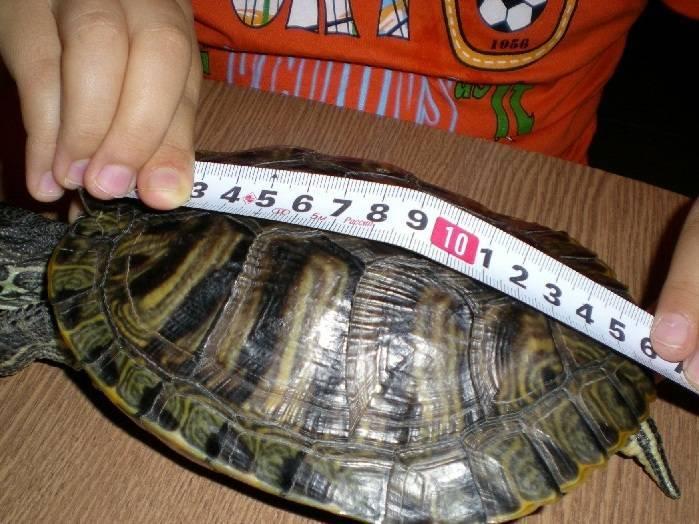 Красноухая пресноводная черепаха: жизнь в природе, а также уход и содержание в домашних условиях