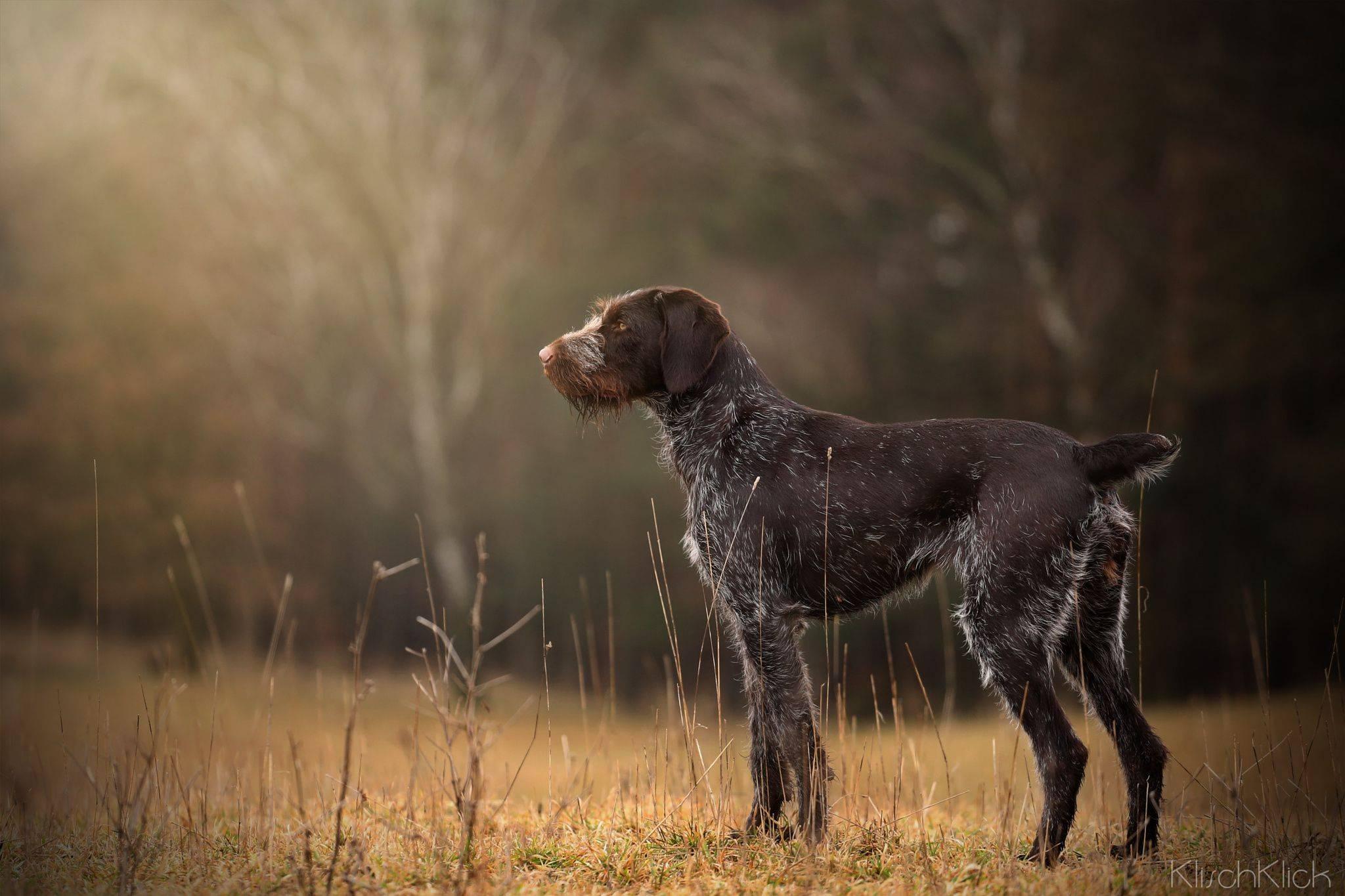 Дратхаар: описание породы собак, фото, характер