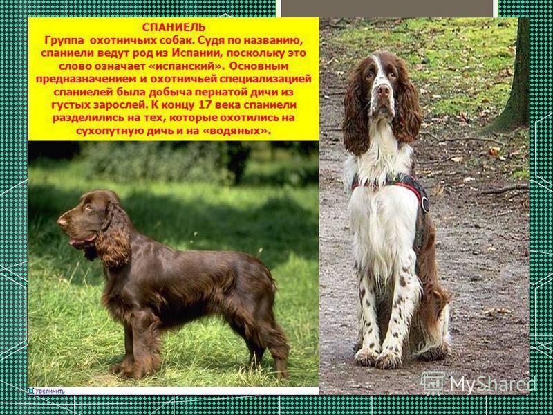 Русский охотничий спаниель собака. описание, особенности, уход и цена породы   sobakagav.ru