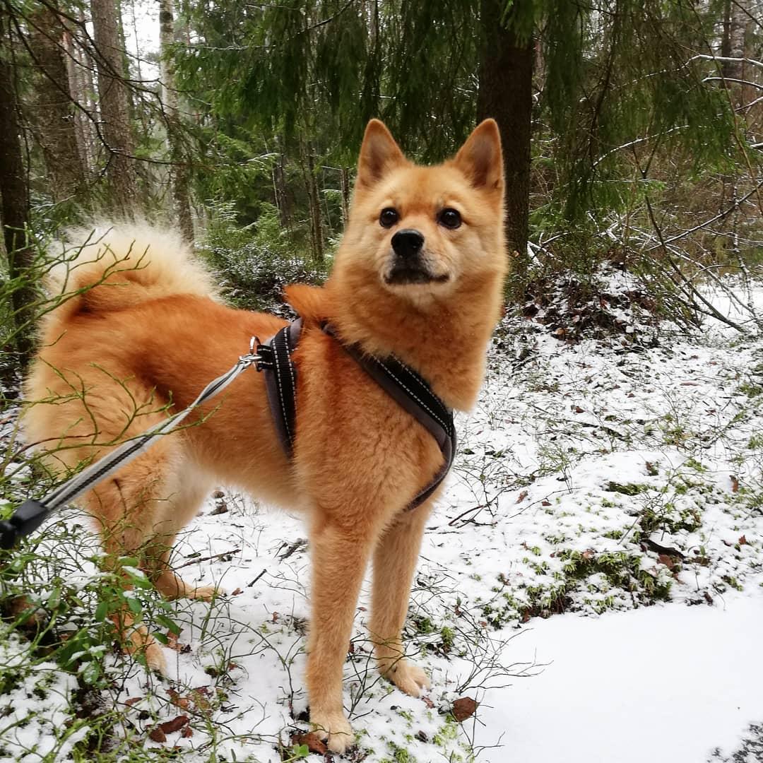 Карело финская лайка: описание породы и особенности характера