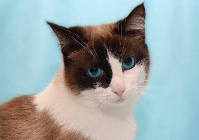 Порода кошек сноу-шу: описание, характер, фото, цены