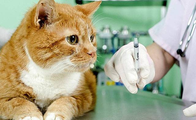Прививка от бешенства кошке. график вакцинирования