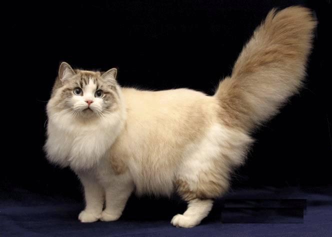 Рагамаффин: кошка, фото, видео, цена