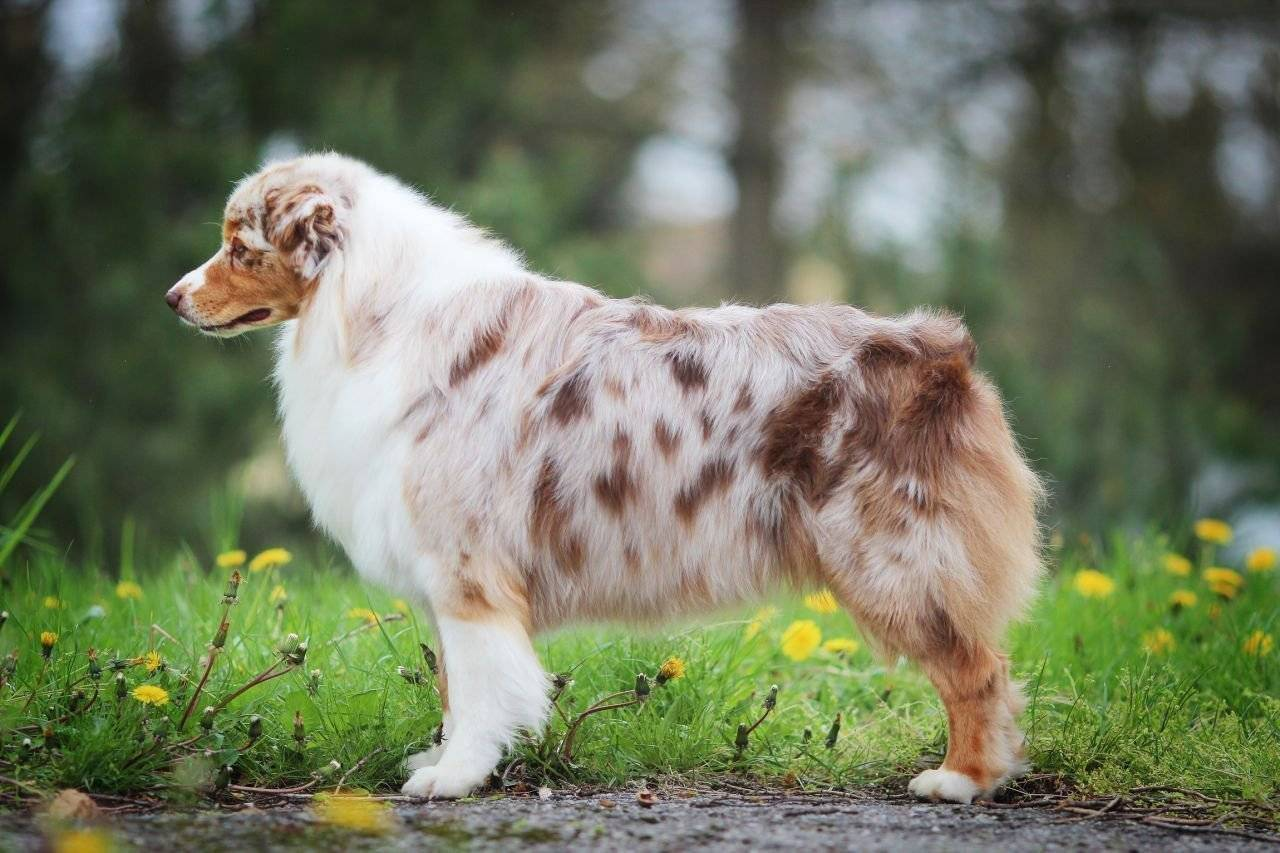 Австралийская овчарка - описание и характер собаки, окрас и тип шерсти, дрессировка, уход и рацион питания