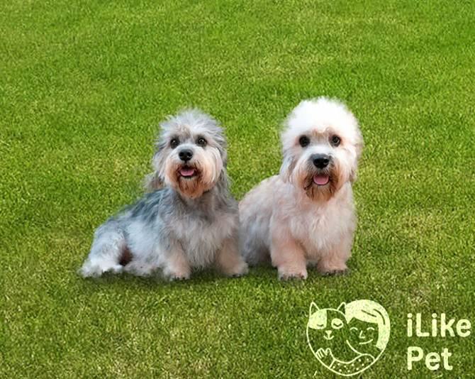 Денди-динмонт-терьер: описание, характер, уход, фото | все о собаках