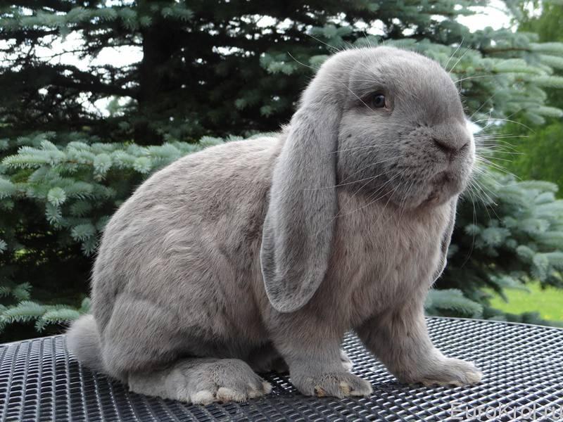Карликовый баран кролик: содержание и перспективы разведения — cельхозпортал