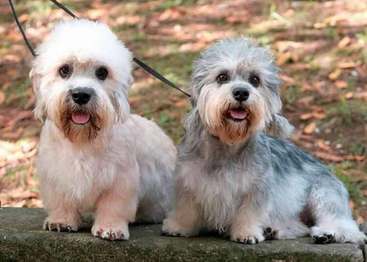 Денди-динмонт терьер: фото и описание породы собак денди-динмонт терьер: фото и описание породы собак