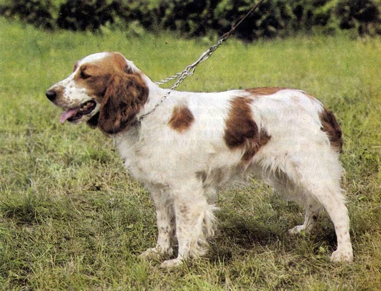 Вельш-спрингер-спаниель (28 фото): описание уэльской породы, особенности содержания щенков и взрослых собак