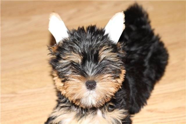 Как поставить уши йоркширскому терьеру: полезные рекомендации
