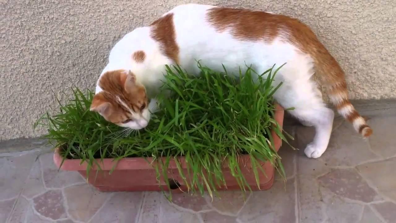 Почему кошки едят траву? причины, фото и видео