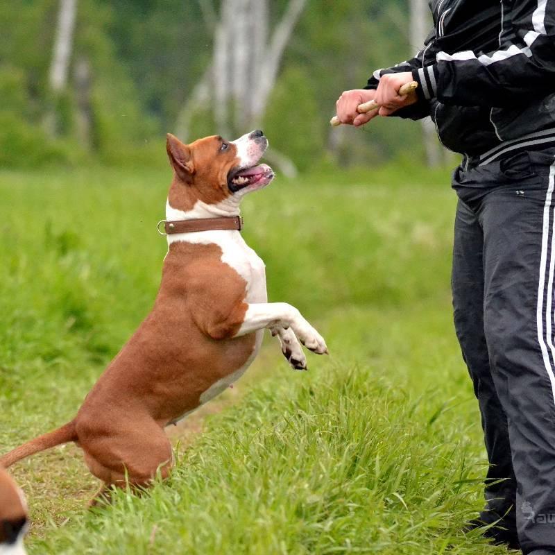 Воспитание щенка бультерьера – дрессировка в домашних условиях