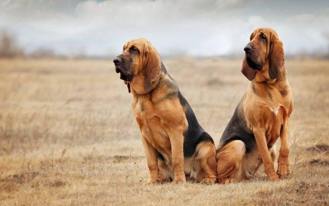 Бладхаунд: верный и преданный друг с благородными манерами. тайная история породы бладхаунд и подробная характеристика собак