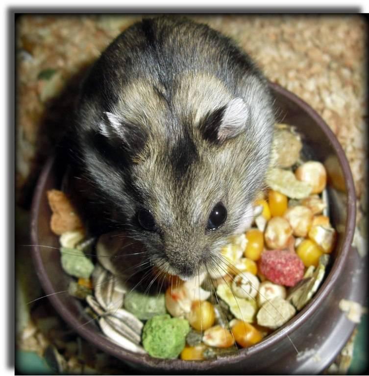 Домашние мыши уход и содержание