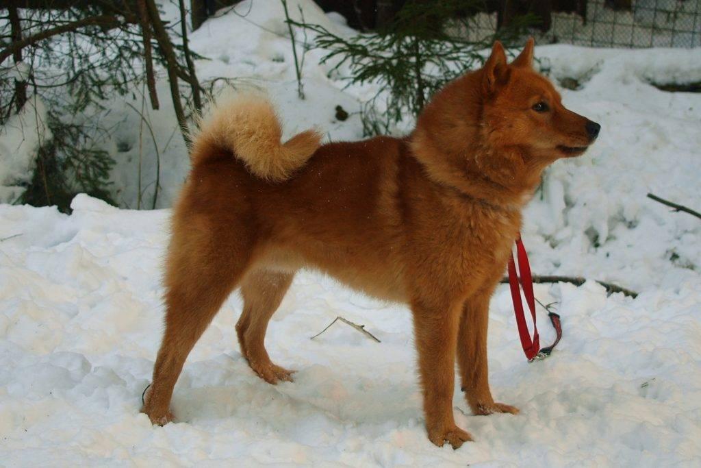 Карело-финская лайка (финский шпиц): описание породы с фото и видео