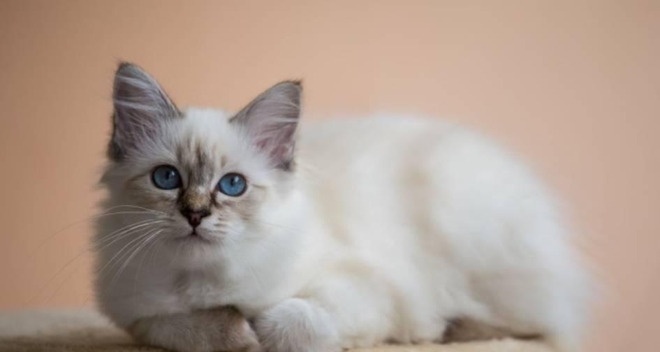 Бирманские кошки: ? описание породы, характер, здоровье