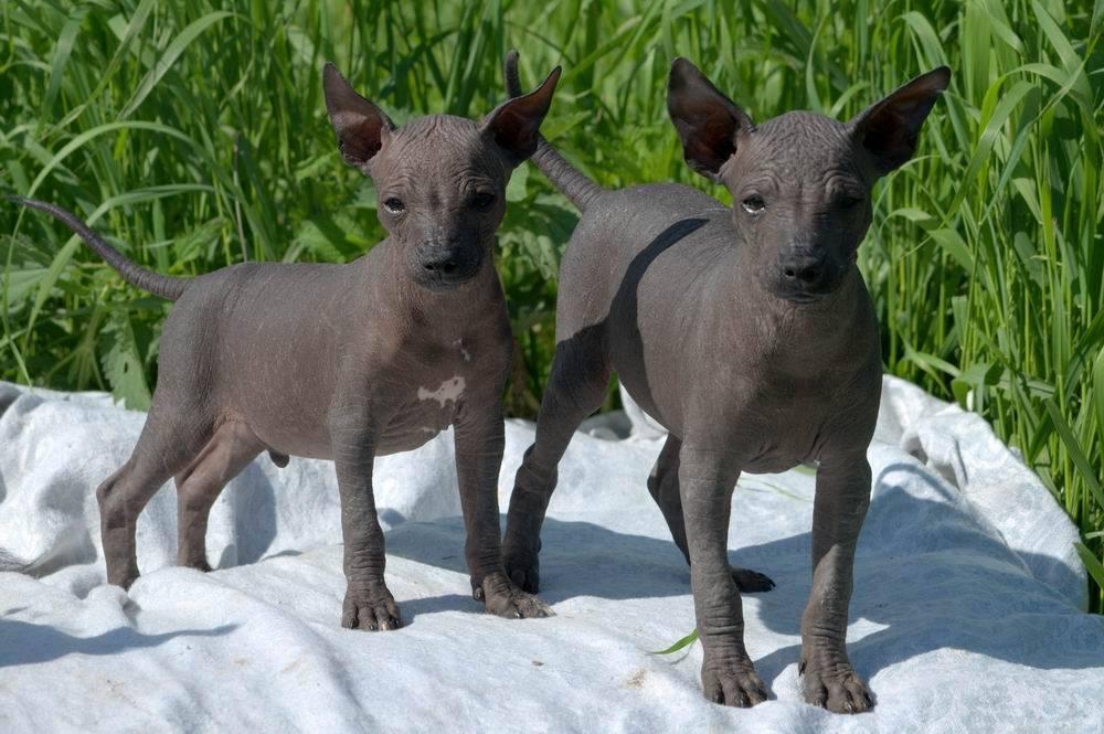 Лысые собаки (52 фото): описание пород маленьких и больших голых собак. уход за собаками без шерсти