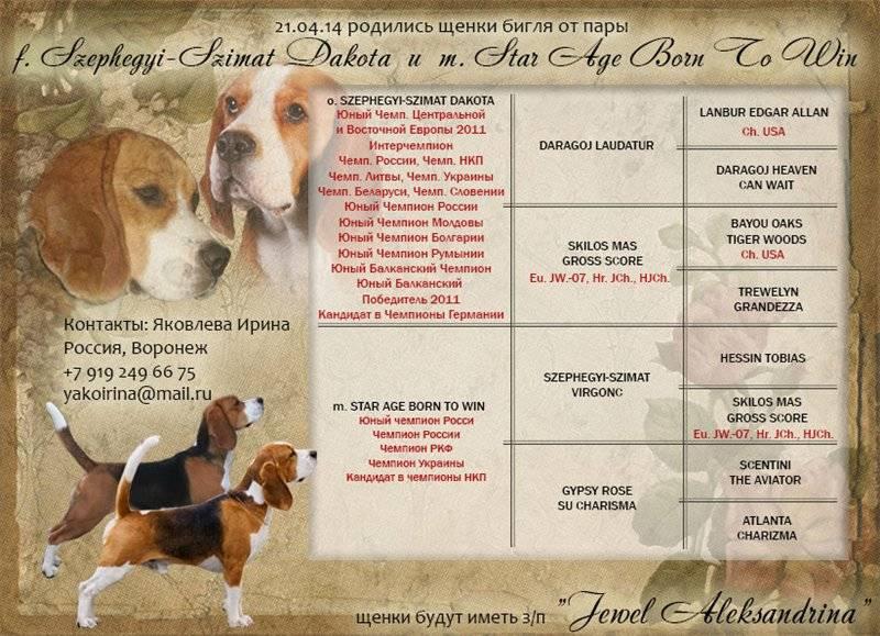 Бигль воспитание щенка. как дрессировать и воспитывать бигля в домашних условиях. обучение команде «ко мне!»