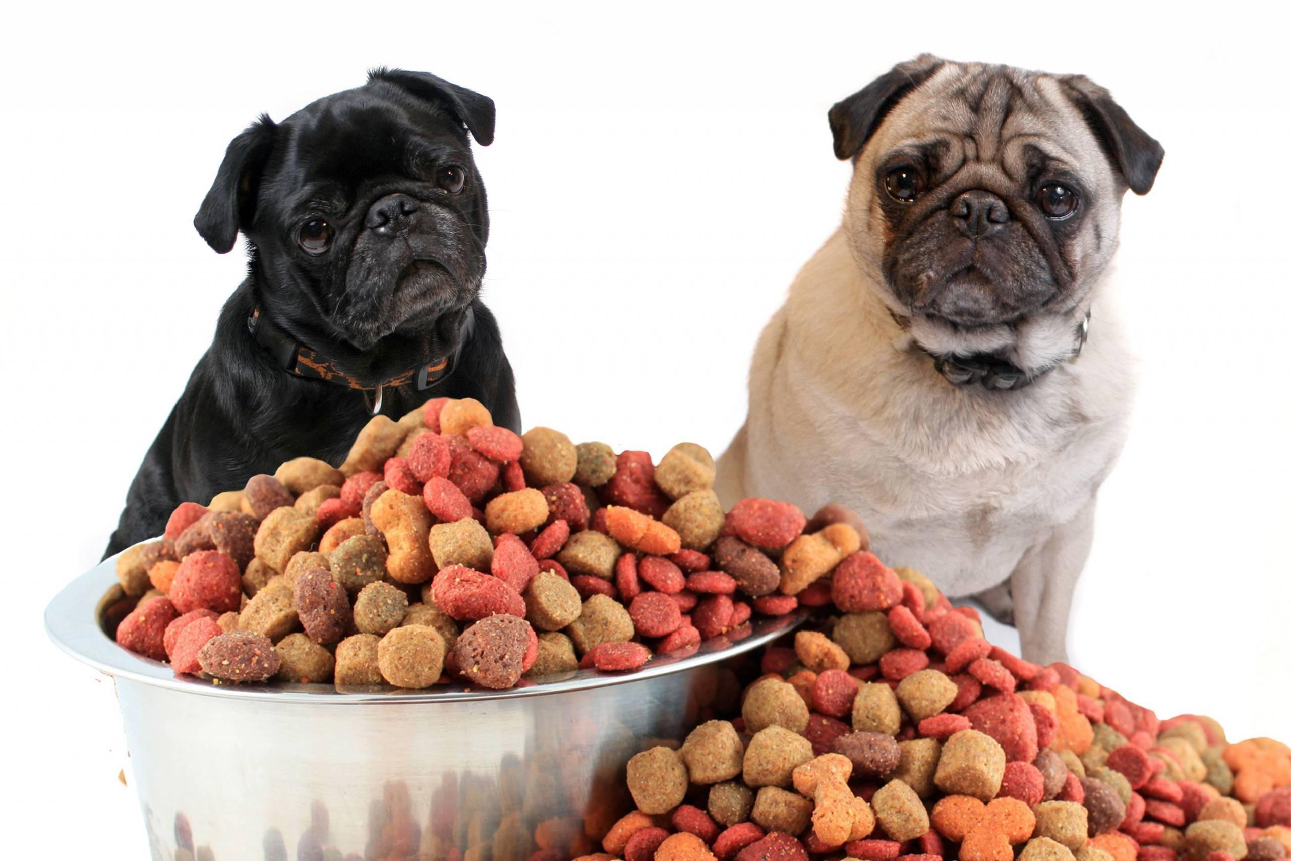 Чем кормить мопса - правила питания!
