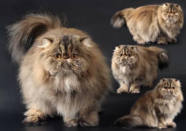 Редкие породы кошек, их описание и особенности   живность.ру