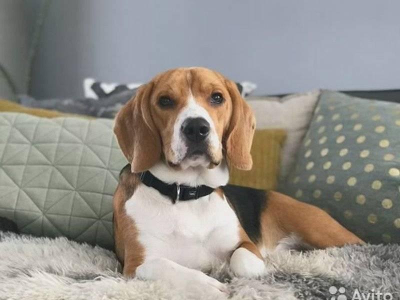 Бигль собака. описание, особенности, уход и цена бигля     sobakagav.ru
