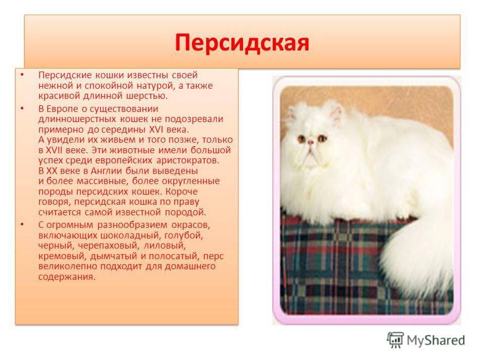Кошка шиншилла — описание породы и характер кошки