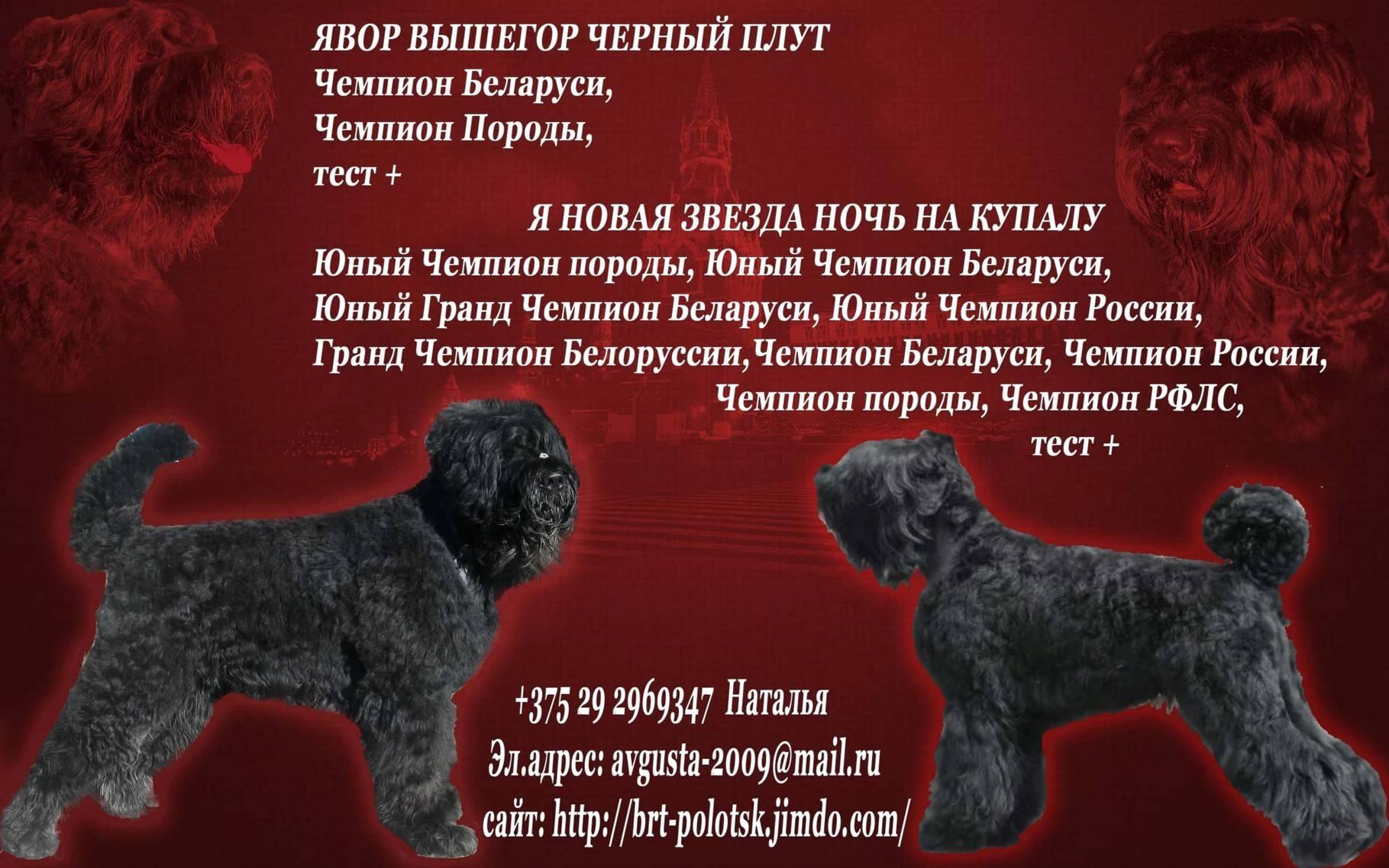 Русский черный терьер (фото): ум, решительность и обаяние - kot-pes