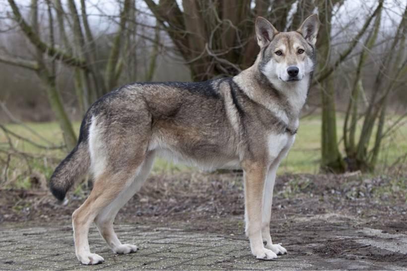 Откуда произошли волчье собаки сарлоса и как они выглядят на самом деле