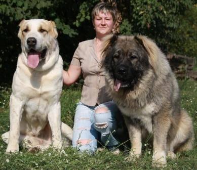 Кто круче: алабай или кавказская овчарка? сравнение пород — 4 лапки