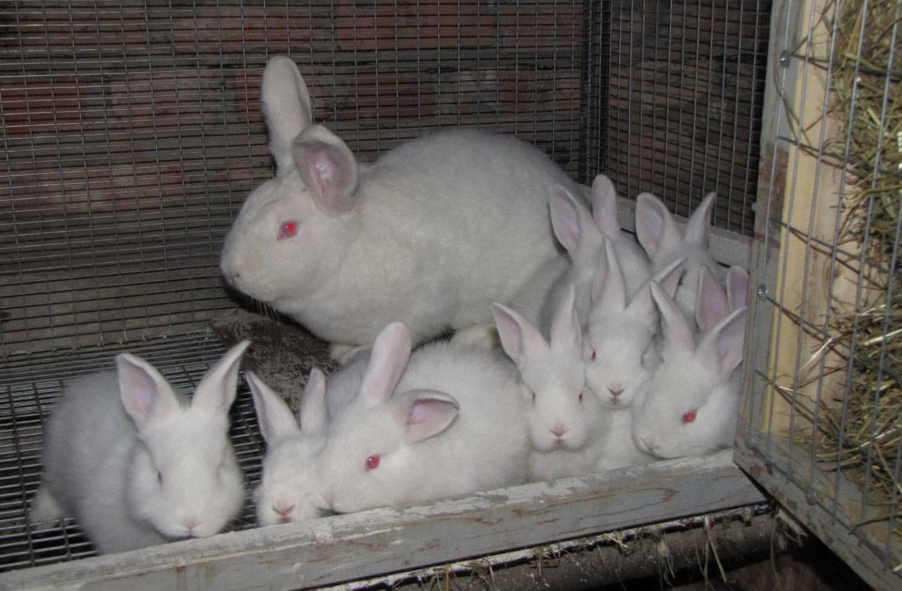 Разведение кроликов в домашних условиях: на что обратить внимание?