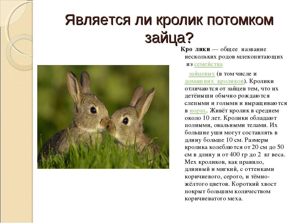 Зайцы: описание, виды, фото, места обитания, образ жизни