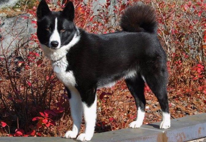 Карельская медвежья собака: фото, описание породы, отзывы, видео, болезни
