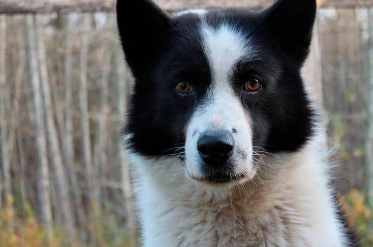 Собаки » породы » карельская медвежья собака