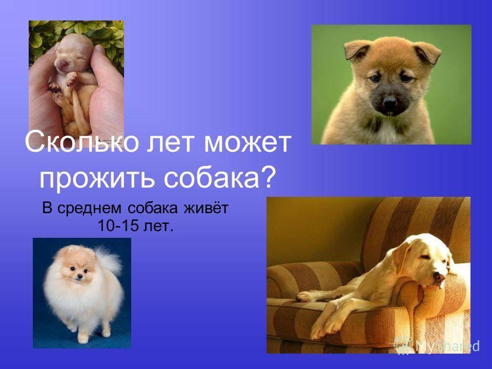 Сколько живут собаки - от чего зависит максимальный возраст породистых псов или дворняг
