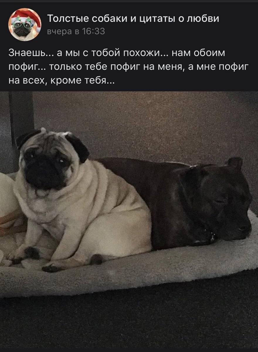 Самые толстые собаки в мире – 15 фото и пояснения
