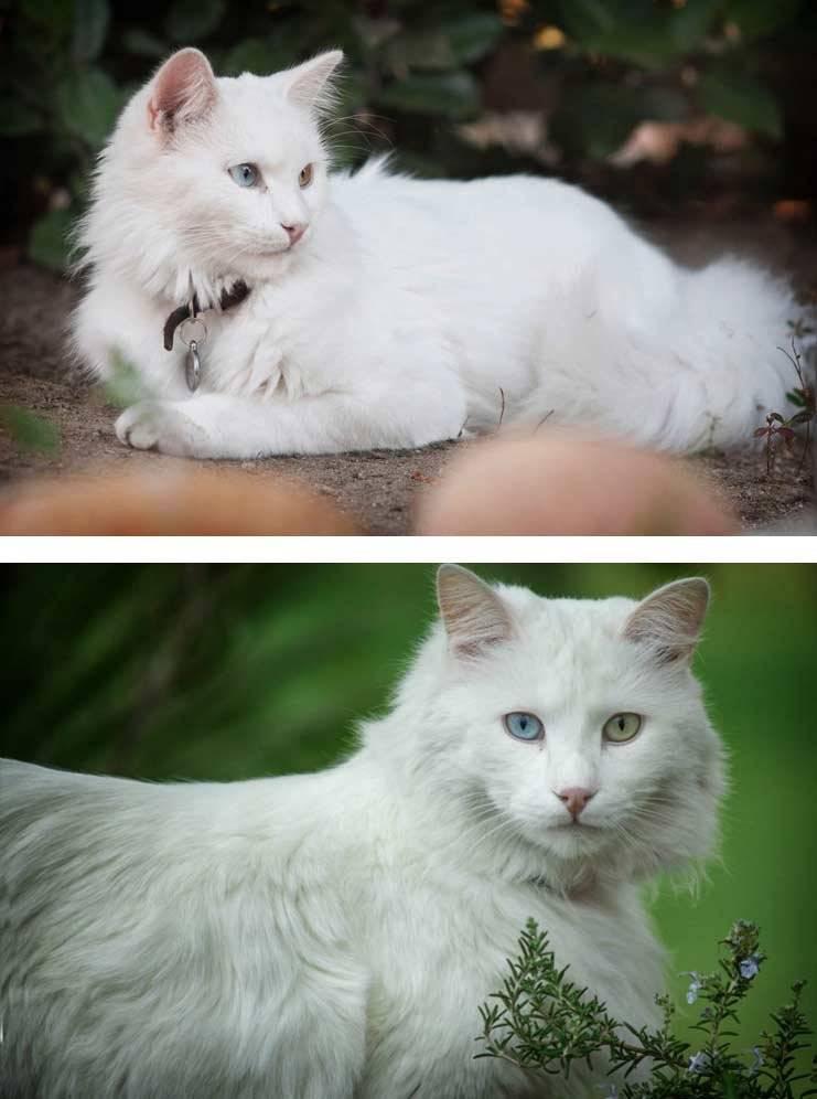 Турецкая ангора: описание породы и характера, повадки кошки